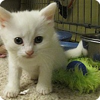 Adopt A Pet :: White Kittens - Acme, PA