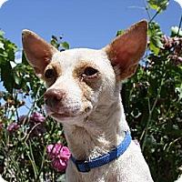 Adopt A Pet :: HADLEY - Elk Grove, CA