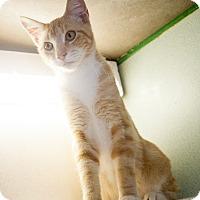 Adopt A Pet :: Macaroni - Shelton, WA