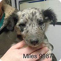 Adopt A Pet :: Miles - baltimore, MD