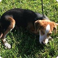 Adopt A Pet :: Oliver - Westminster, MD