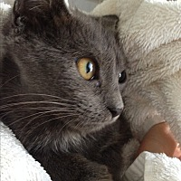 Chartreux Kitten for adoption in Sunny Isles Beach, Florida - Dante