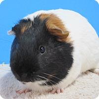 Adopt A Pet :: GILBERT - Aurora, CO