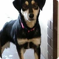 Adopt A Pet :: Shandra - Aurora, CO