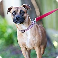 Adopt A Pet :: Hayley - Houston, TX
