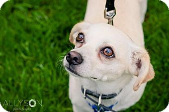 Terrier (Unknown Type, Medium)/Chihuahua Mix Dog for adoption in Seattle, Washington - Asher - Sweet Cuddly Boy!