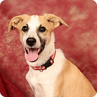 Adopt A Pet :: Rosabelle Colliemix - St. Louis, MO