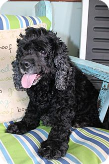 Cocker Spaniel Dog for adoption in Portland, Maine - SASSY