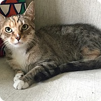 Domestic Shorthair Cat for adoption in Addison, Illinois - Baby Girl