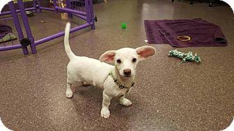 Dachshund/Labrador Retriever Mix Puppy for adoption in Phoenix, Arizona - Peeta