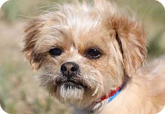 Shih Tzu/Yorkie, Yorkshire Terrier Mix Dog for adoption in Colorado Springs, Colorado - Siren