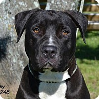 Pit Bull Terrier Dog for adoption in Conroe, Texas - Manny