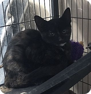 Domestic Shorthair Kitten for adoption in Loogootee, Indiana - Marcie