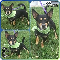 Adopt A Pet :: Bolt- hw + - Spartanburg, SC