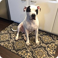 American Bulldog Dog for adoption in Pompano beach, Florida - Nikko