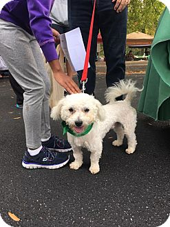 Maltese/Poodle (Miniature) Mix Puppy for adoption in Alpharetta, Georgia - Chico
