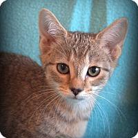 Manx Kitten for adoption in Staunton, Virginia - Bailey