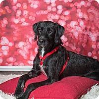 Adopt A Pet :: Spinner - Plano, TX