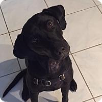 Labrador Retriever Dog for adoption in Newtown Square, Pennsylvania - Georgie