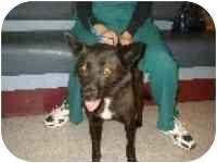 Shiba Inu Mix Dog for adoption in Portland, Oregon - Sheba