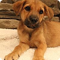 Adopt A Pet :: Java - Hamburg, PA