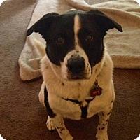 Adopt A Pet :: Roxy (courtesy listing) - Richmond, VA