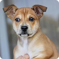 Adopt A Pet :: Cups Puppies - Female - San Diego, CA