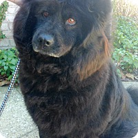 Adopt A Pet :: Honey Bear - Fennville, MI