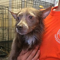 American Hairless Terrier/Chihuahua Mix Dog for adoption in El Centro, California - Splinter