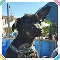 Chihuahua/Terrier (Unknown Type, Small) Mix Puppy for adoption in Phoenix, Arizona - Thor