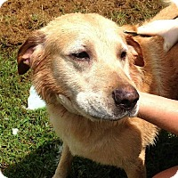 Labrador Retriever Dog for adoption in Petersburg, Virginia - Jake