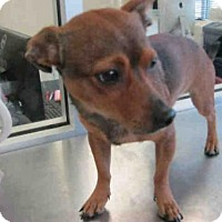 Chihuahua Mix Dog for adoption in San Antonio, Texas - CESAR