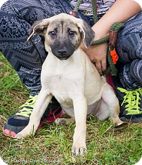 Labrador Retriever/Shepherd (Unknown Type) Mix Puppy for adoption in Enfield, Connecticut - Tarron
