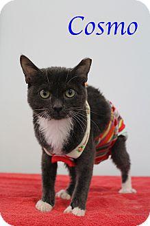 Manx Kitten for adoption in Bradenton, Florida - Cosmo