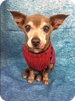 Chihuahua Mix Dog for adoption in Lake Elsinore, California - Jinx
