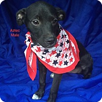 Adopt A Pet :: Aztek-pending adoption - Manchester, CT