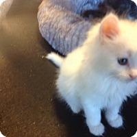 Domestic Mediumhair Kitten for adoption in Alamo, California - Frosty
