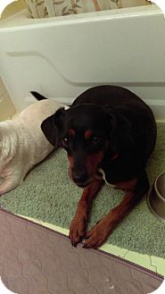 Terrier (Unknown Type, Medium)/Miniature Pinscher Mix Dog for adoption in Providence, Rhode Island - Ruby