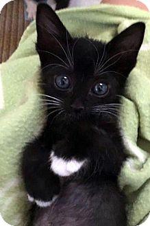 Domestic Shorthair Kitten for adoption in North Las Vegas, Nevada - Basha