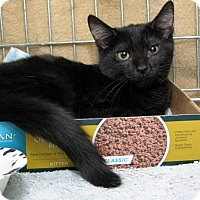 Domestic Shorthair Kitten for adoption in Stamford, Connecticut - Takiy