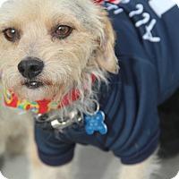 Adopt A Pet :: Prancer-ADOPT Me! - Redondo Beach, CA