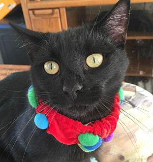 Domestic Shorthair Cat for adoption in Burlington, North Carolina - PRINCE