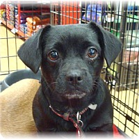 Adopt A Pet :: Jewel - Las Vegas, NV
