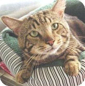 Domestic Mediumhair Cat for adoption in Miami, Florida - Carlos