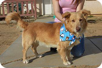 Golden Retriever/Corgi Mix Dog for adoption in California City, California - Mr. Perfect