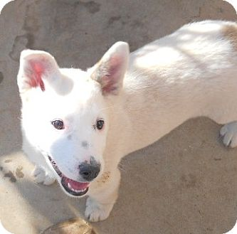 Labrador Retriever/Australian Cattle Dog Mix Puppy for adoption in dewey, Arizona - Snowball