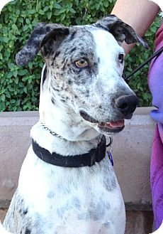 Great Dane/Australian Shepherd Mix Dog for adoption in Phoenix, Arizona - Blue