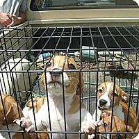 Adopt A Pet :: Four Baby Girls! - Eden, NC