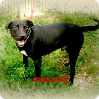 Adopt A Pet :: CARLTON - Henderson, KY