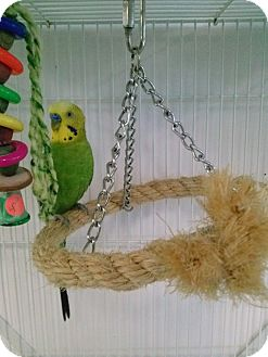 Budgie for adoption in Grandview, Missouri - Smitty and Homer